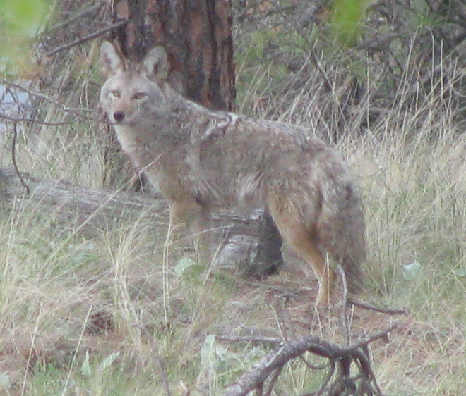 Coyote in Backyard