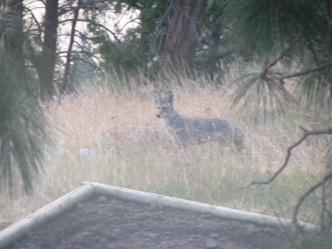 Coyote in Backyard - I hear something.