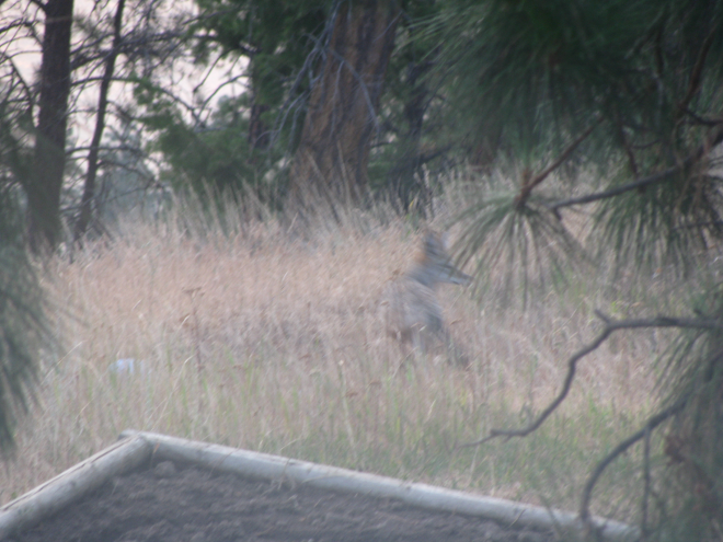 Coyote in Backyard - Is it over there?
