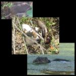 Muscrat Ducks Squirrel