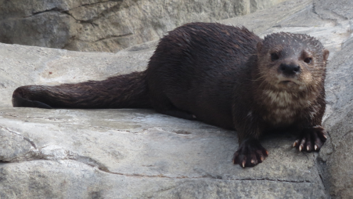 Pacific Otter