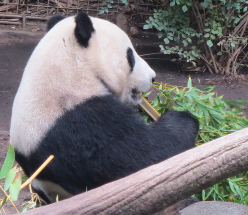 Panda having Breakfast