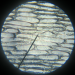 Onion Skin under the Microscope at 10x magnification.
