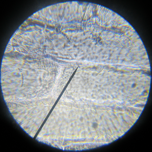 Onion Skin under the Microscope at 40x magnification.