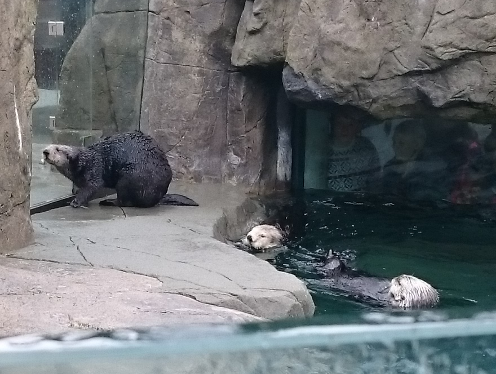Sea Otter Feeding Time